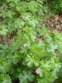 Geranium lucidum0