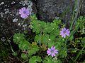 Geranium pyrenaicum 1b.JPG