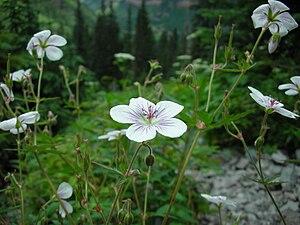 Geranium richardsonii CO.jpg