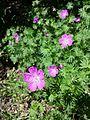Geranium sanguineum sl7.jpg