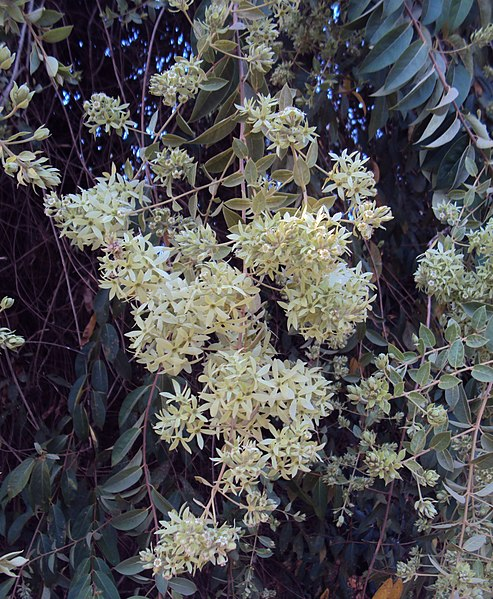 പ്രമാണം:Getonia floribunda.jpg