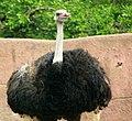 Gfp-male-ostrich.jpg