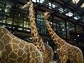 Girafes de la Grande galerie de l'Évolution - Jardin des Plantes - Paris.jpg
