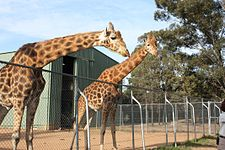 Giraffa camelopardalis -Taronga Western Plains Zoo, near Dubbo, New South Wales, Australia-8a