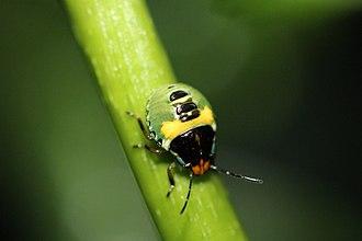 Glaucias amyoti - Glaucias amyoti third instar on a runner of Three Kings Vine (Tecomanthe speciosa)