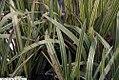 Glyceria spectabilis variegata Picta 1zz.jpg
