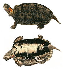 Two drawings of a bog turtle that show both the top (carapace) and bottom (plastron). It is brown and black except for a bright yellow or orange spot on the side of its neck