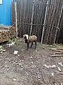 Goat-6-bangalore-India.jpg