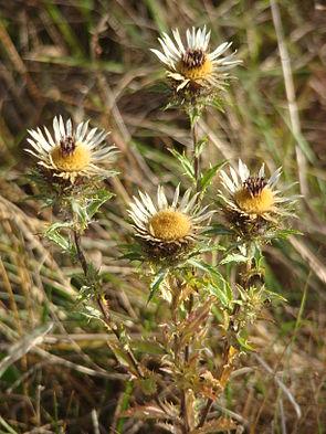 Golddistel (Carlina vulgaris)
