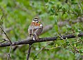 Golden-breasted Bunting (Emberiza flaviventris) (11873730235).jpg
