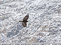 Golden Eagle (Aquila chrysaetos) (46910352041).jpg