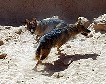 Golden Jackal Revivim.jpg