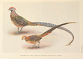 Golden and Amherst Pheasant hybrids by Henrik Grönvold.png