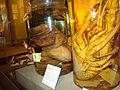 Goliath frog at Harvard Museum of Natural History.jpg