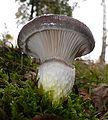 Gomphidius glutinosus 131007.jpg