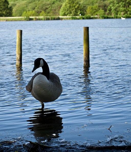 Goose at crompton lodges - panoramio