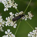 Grammoptera ruficornis.jpg