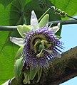 Granadilla (Passiflora ligularis) - Flickr - Alejandro Bayer (4).jpg
