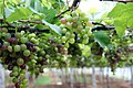 Grape Plant and grapes6.jpg