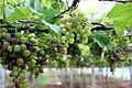 Grape Plant and grapes6.jpg