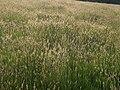 Grassland near the coast path - geograph.org.uk - 808364.jpg
