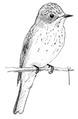 Grauwe vliegenvanger Muscicapa striata Jos Zwarts 3.tif