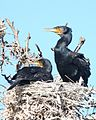 Great Cormorant (Phalacrocorax carbo) - Flickr - Lip Kee.jpg