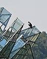 Great Cormorant (Phalacrocorax carbo) - Oslo, Norway 2020-08-12 (03).jpg