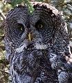 Great Grey Owl 2 (8033905171).jpg
