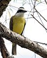 Great Kiskadee (Pitangus sulphuratus) - Flickr - Lip Kee.jpg