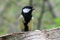 Great Tit 1.jpg