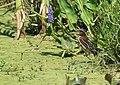 Green Heron (juvenile) (35611643485).jpg