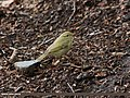 Greenish Warbler (Phylloscopus trochiloides) (15276158143).jpg