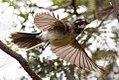 Grey Fantail (Rhipidura albiscapa) (8079681296).jpg