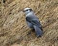 Grey Jay (Perisoreus canadensis) (20163296600).jpg