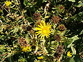 Grindelia camporum Grindelia robusta HabitusInflorescencesFruits BotGardBln0906c.JPG