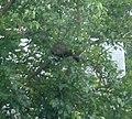 Groundhog-in-tree.jpg