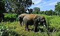 Group of elephants in Sri Lanka.jpg