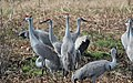 Grus canadensis (Sandhill Crane) 39.jpg