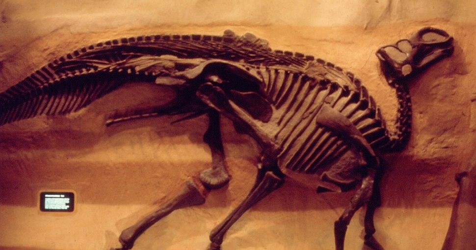 Gryposaurus incurvimanus