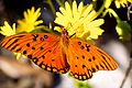 Gulf Fritillary or Passion Butterfly (Agraulis vanillae) (6307247676).jpg