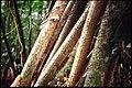 Guyane arbre perché.jpg