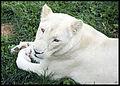 Guylaine2007 - lionne blanche (by).jpg