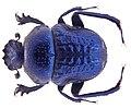 Gymnopleurus cyaneus Fabricius, 1798 (4240756303).jpg
