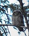 Hökuggla Northern Hawk Owl (20342074442).jpg