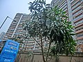HK 北角半山 North Point Mid-Levels 雲景道 60 Cloud View Road 峰景大廈 Hilltop Mansion Apr-2014 tree.JPG