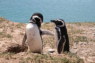 Valdes Peninsula - Image: Halbinsel Valdes Pinguine