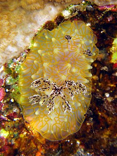 <i>Halgerda terramtuentis</i> species of mollusc