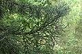 Halocarpus kirkii kz11.jpg
