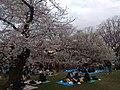Hanami in Yoyogi Park (2019).jpg